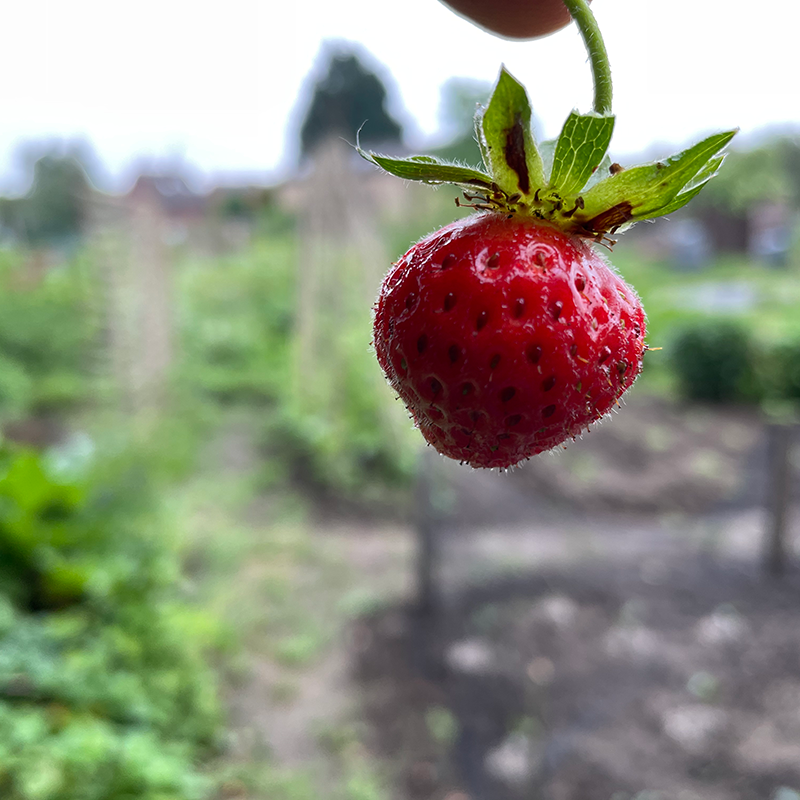 First strawberry of the year on the 1918 Allotment, June 2021